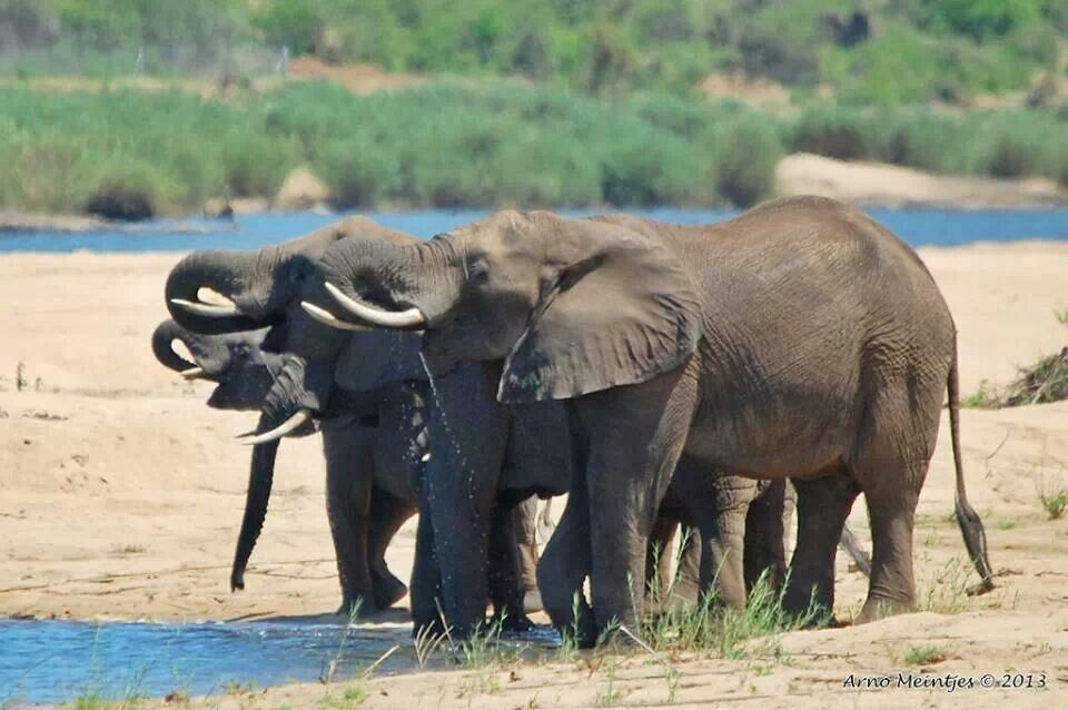 Next One S On Me Knp Majestic Animals African Bush Elephant