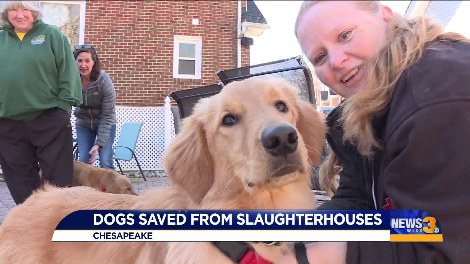 Golden Retrievers Rescued From Slaughterhouses Start Off 2020 With