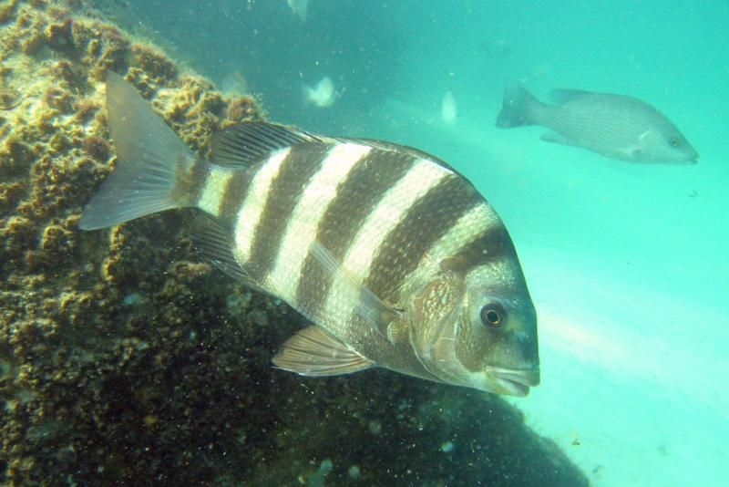 Sheepshead Fish Florida Fish Marine Animals Fish