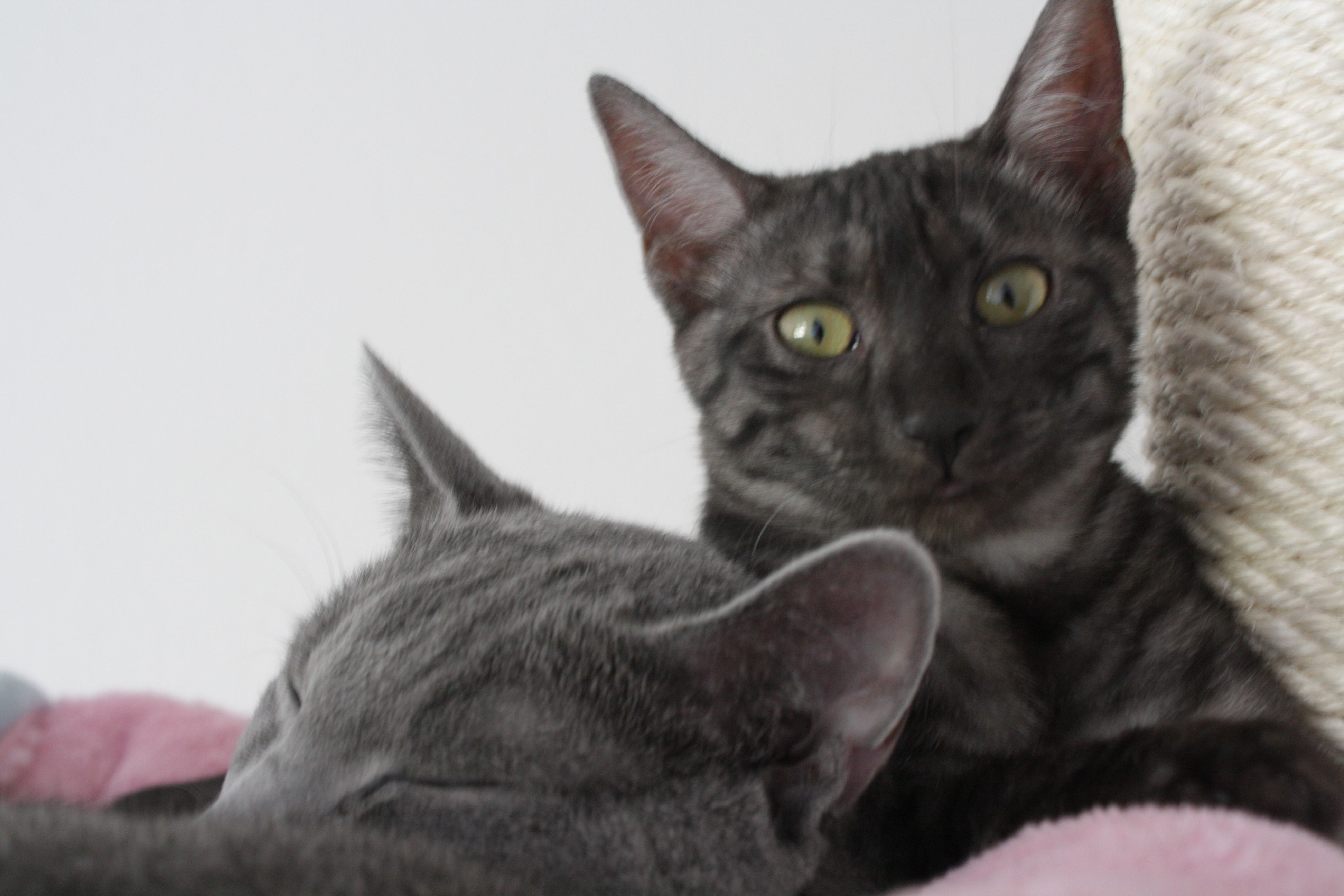 my egyptian mau cat and russian blue tomcat sleeping together ...