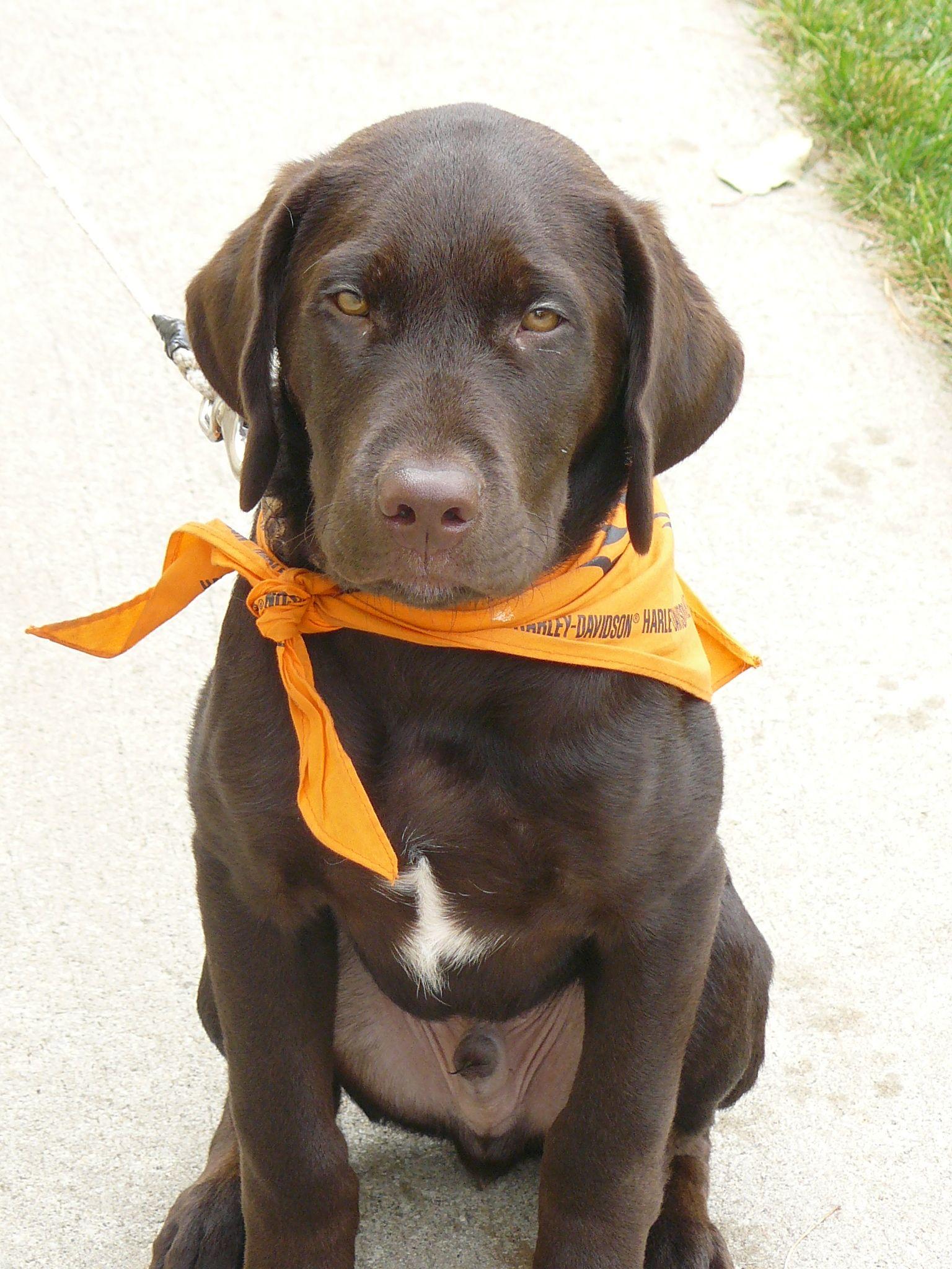 Harley Chocolate Lab Puppy Lab puppies, Chocolate lab