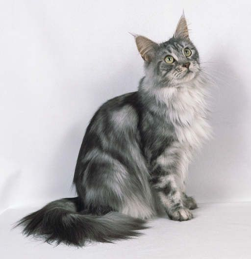Cats Of The Clans Silver Tabby Cat Tabby Cat Tabby Cat Pictures