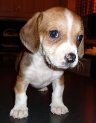 Adopt Abner On Adoptable Dachshund Dog Animal Projects Beagle