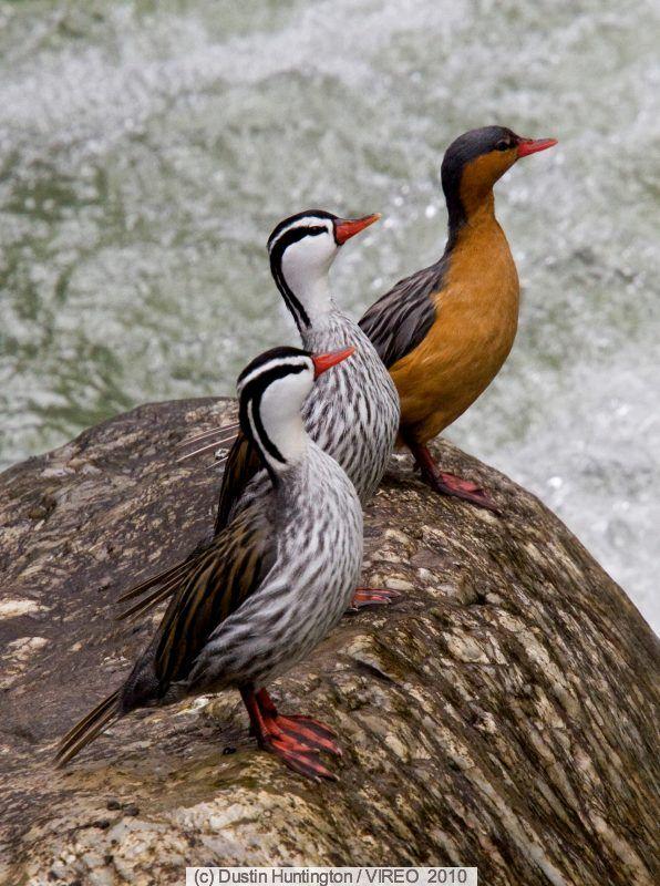 Peruvian Torrent Duck Merganetta armatathey are the only ducks