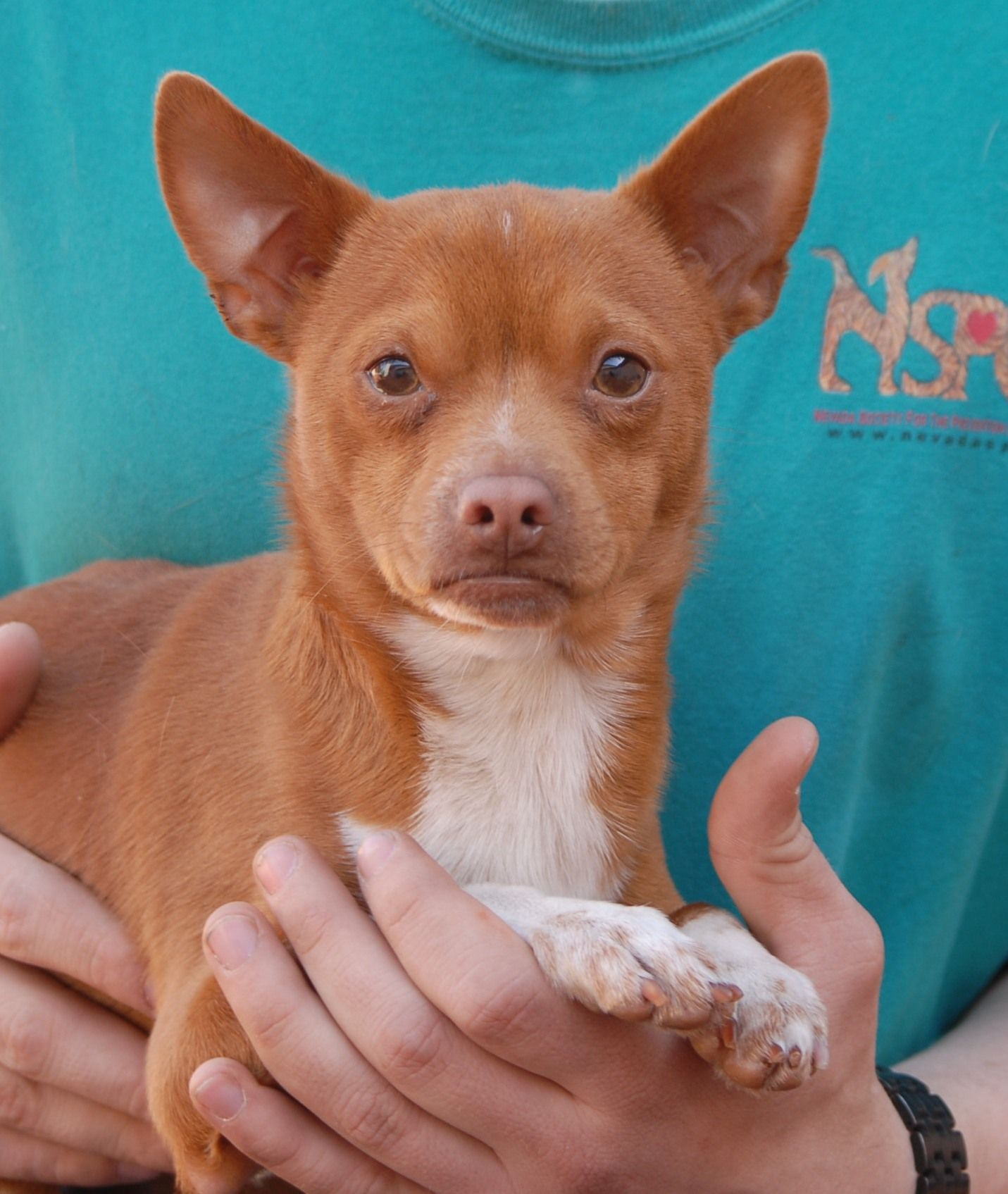 Faith was abandoned inside a North Las Vegas church with no sign of responsible ownership.  He is a very earnest boy, just 1 year of age, a regal little Chihuahua mix with some Shiba Inu features.  Faith is now neutered and debuting for adoption today at Nevada SPCA (www.nevadaspca.org).  He gets along very well with other dogs and only asks for kindness and compassion.