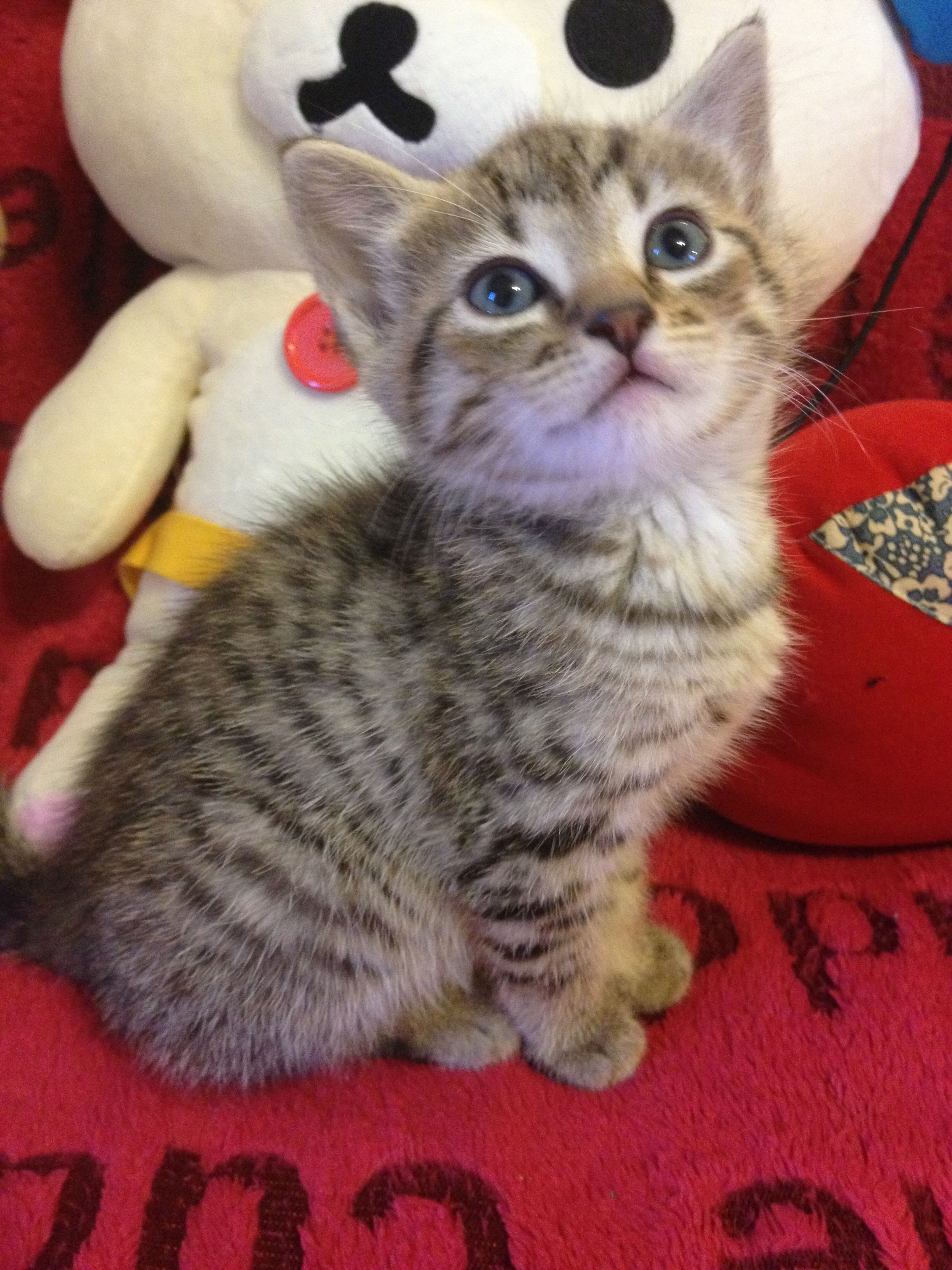 8 Weeks Old Tabby Kitten With Spotted Markings Chats Et Chatons Animaux Mignons Chien Chat
