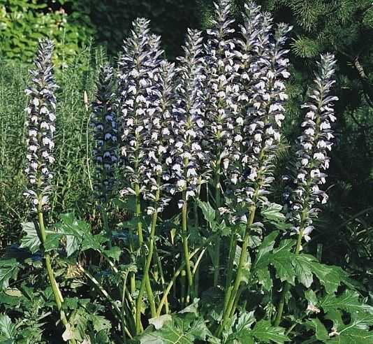The Huge Leaves And Tall Flower Spikes Of Acanthus Mollis Make Them