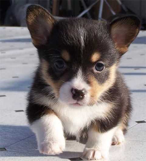 Black Brown And White Puppy Puppies Puppies And Kitties Cute Dogs