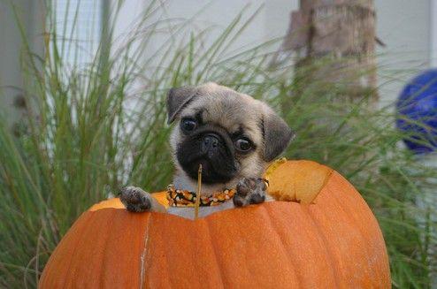 Cute Pug Puppy Pumpkin Halloween Cute Pug Puppies Pugs Pugs