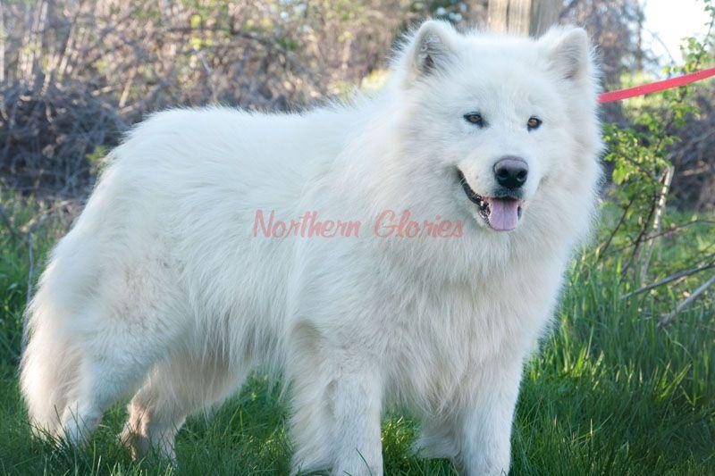 Ghostrider 19 800 Jpg 800 533 Alaskan Malamute Malamute Dogs