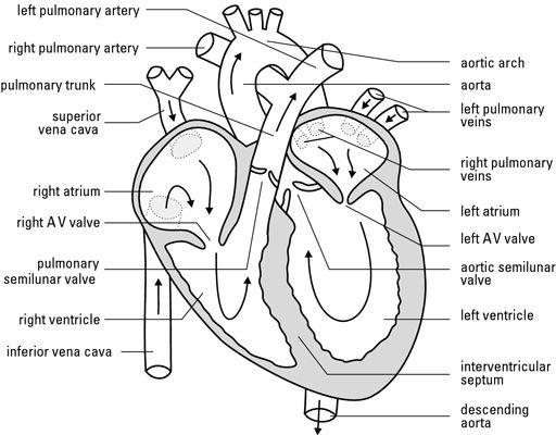 How Blood Flows Through The Human Heart Heart Diagram Biology