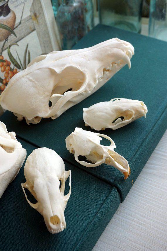 Set Of Skulls 5 Pcs Quality 5 Beaver Skull Fox Skull Marten Skull Mink Skull Muskrat Sk In 2019 Fox Skull Skull Mink
