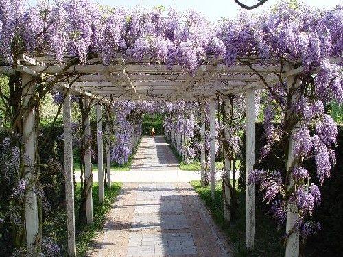 Klimplant regen tuin en blauweregen - Pergola klimplant ...