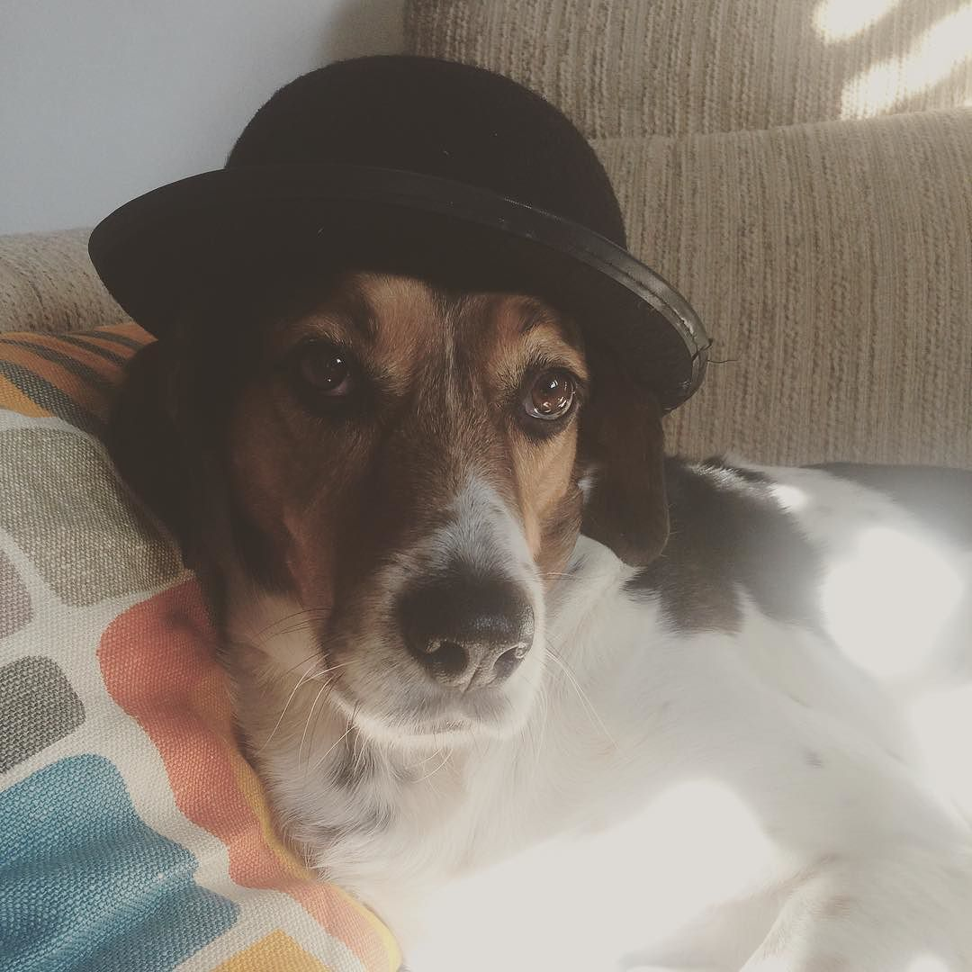 #dude #goolie #beagle #mixedbreed #dogoncouch #hat #doghat #mysonmysun by bennadam #lacyandpaws