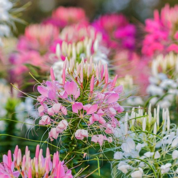 Buy cleome plants for summer long colour in your garden exotic buy cleome plants for summer long colour in your garden exotic looking plants uk mightylinksfo