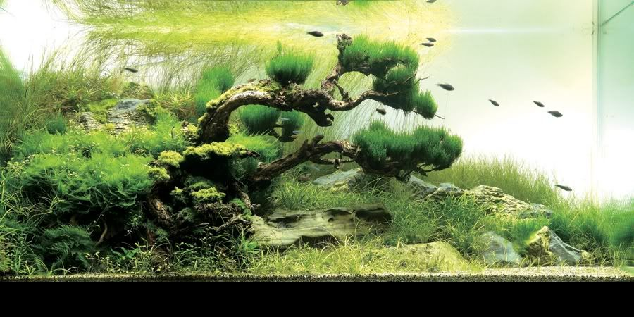 Plant ID, And HC On Driftwood   Aquascaping   Aquatic Plant Central