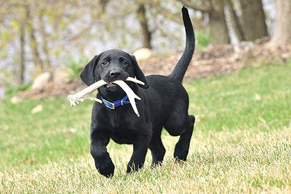 how to train labrador dog