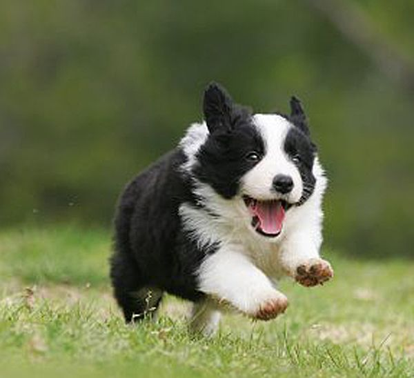 Border Collies are working dogs, - 33.2KB