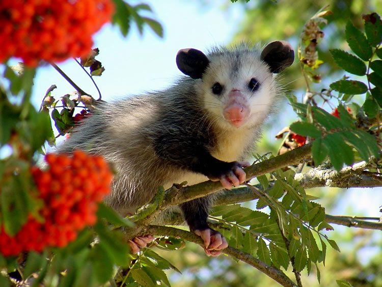 Virginia opossum, Didelphis virginianus. Facts about the opossum