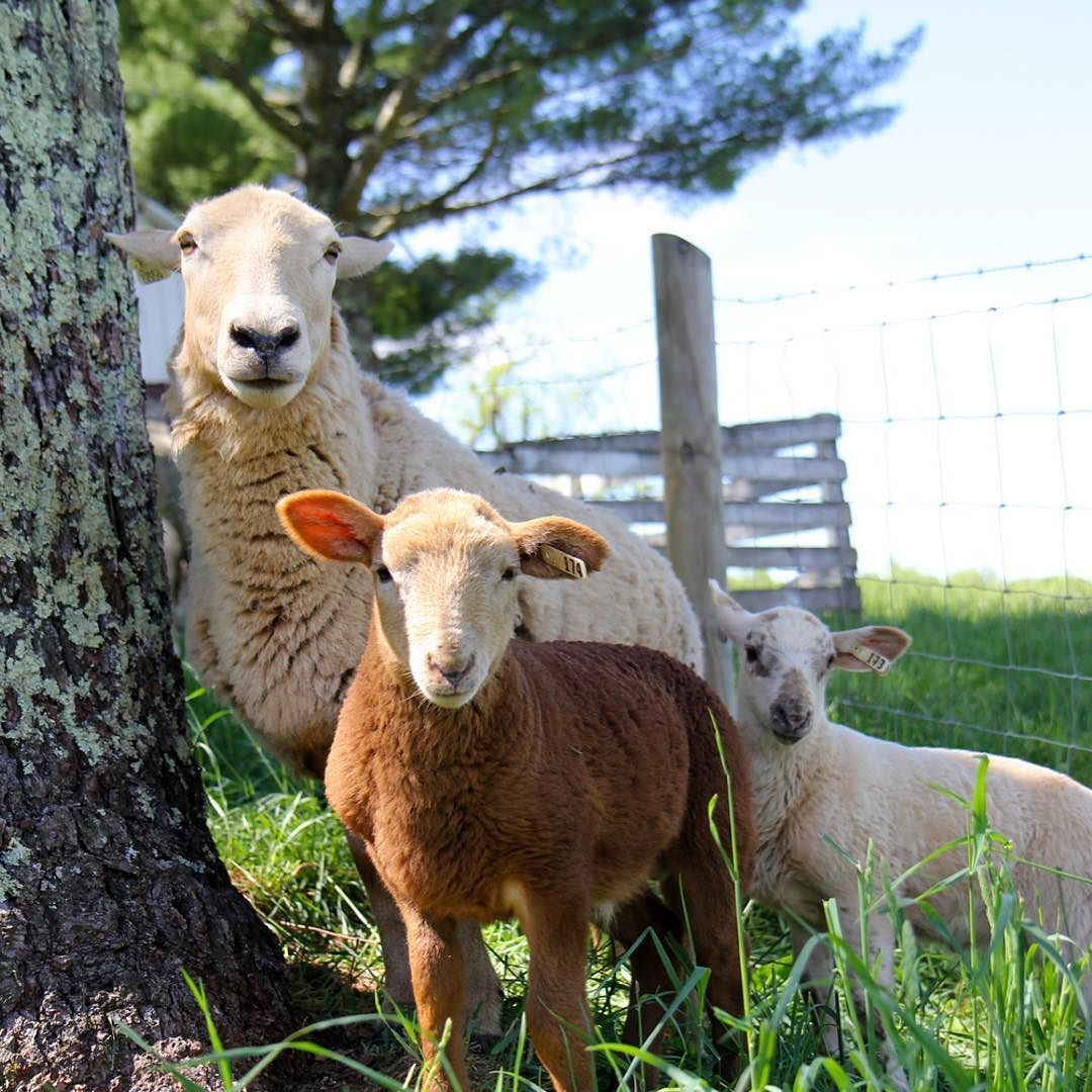 I've been thinking about spring activity planning and #1 on the list is going to visit all the new animal babies. Like these adorable lambs we met last spring. How cute is this family portrait?  ______ What's top on your spring to-do list?