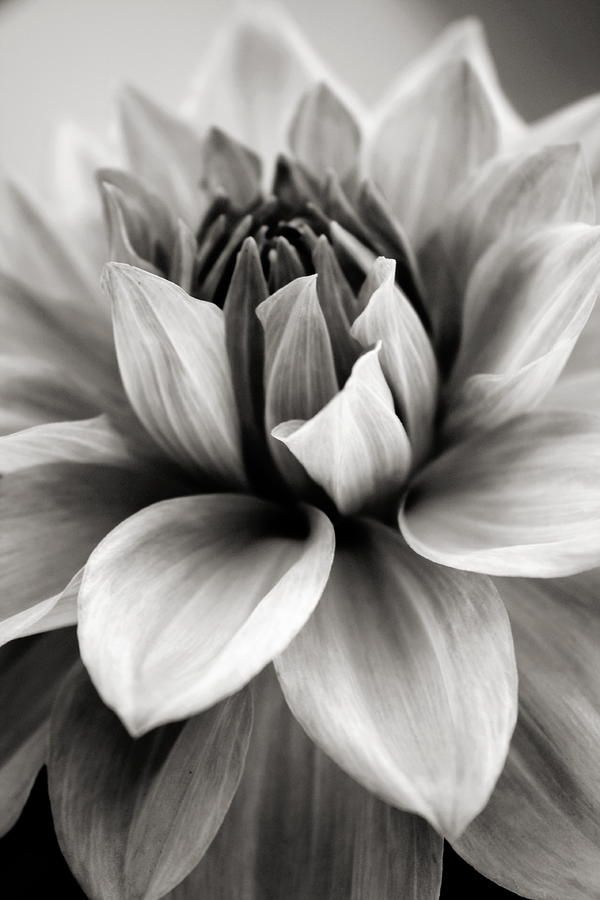 Black And White Dahlia By Danielle Miller Black And White Flowers White Photography White Flowers