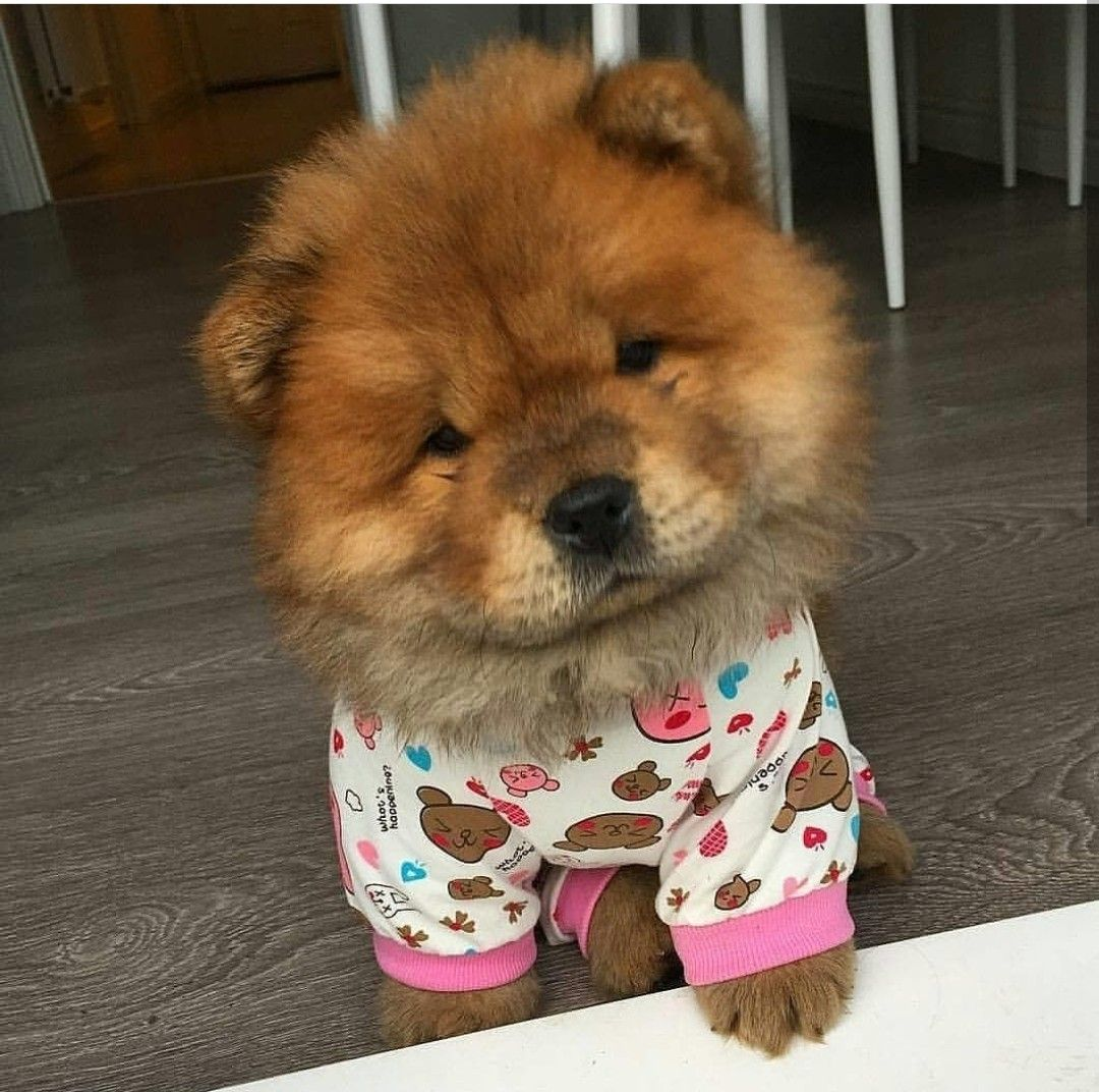 Chowchow Chow Chow Dogs Animals