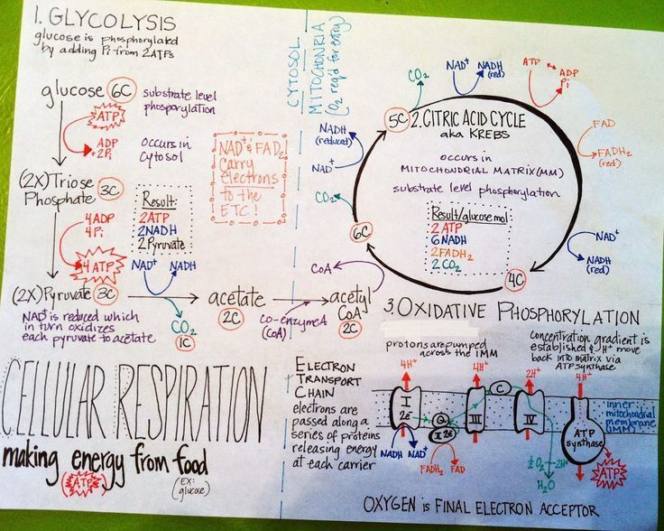 More Summary Sheets Cellular Respiration Biology