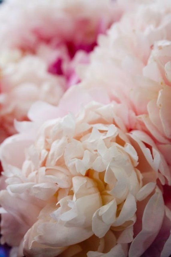 Nature Photography Fragrant Peony In Paris Baby Pink Flower Home D
