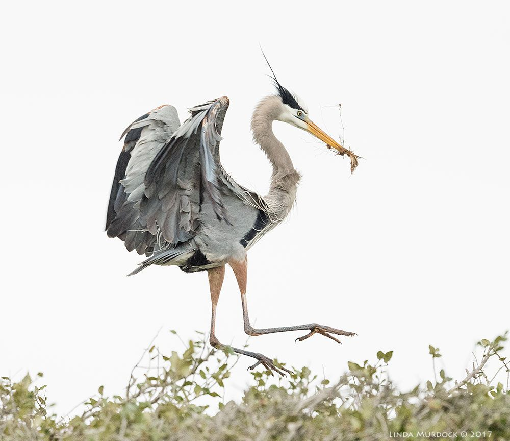 Great Blue Heron at Rockport Rookery, Tx. From my blog at gustaviatex.com