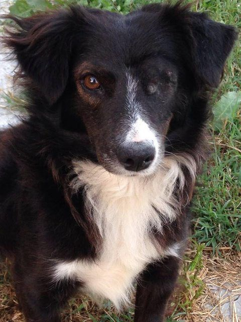 Simba 1 Year Old Male Border Collie Cross Dog Adoption Border