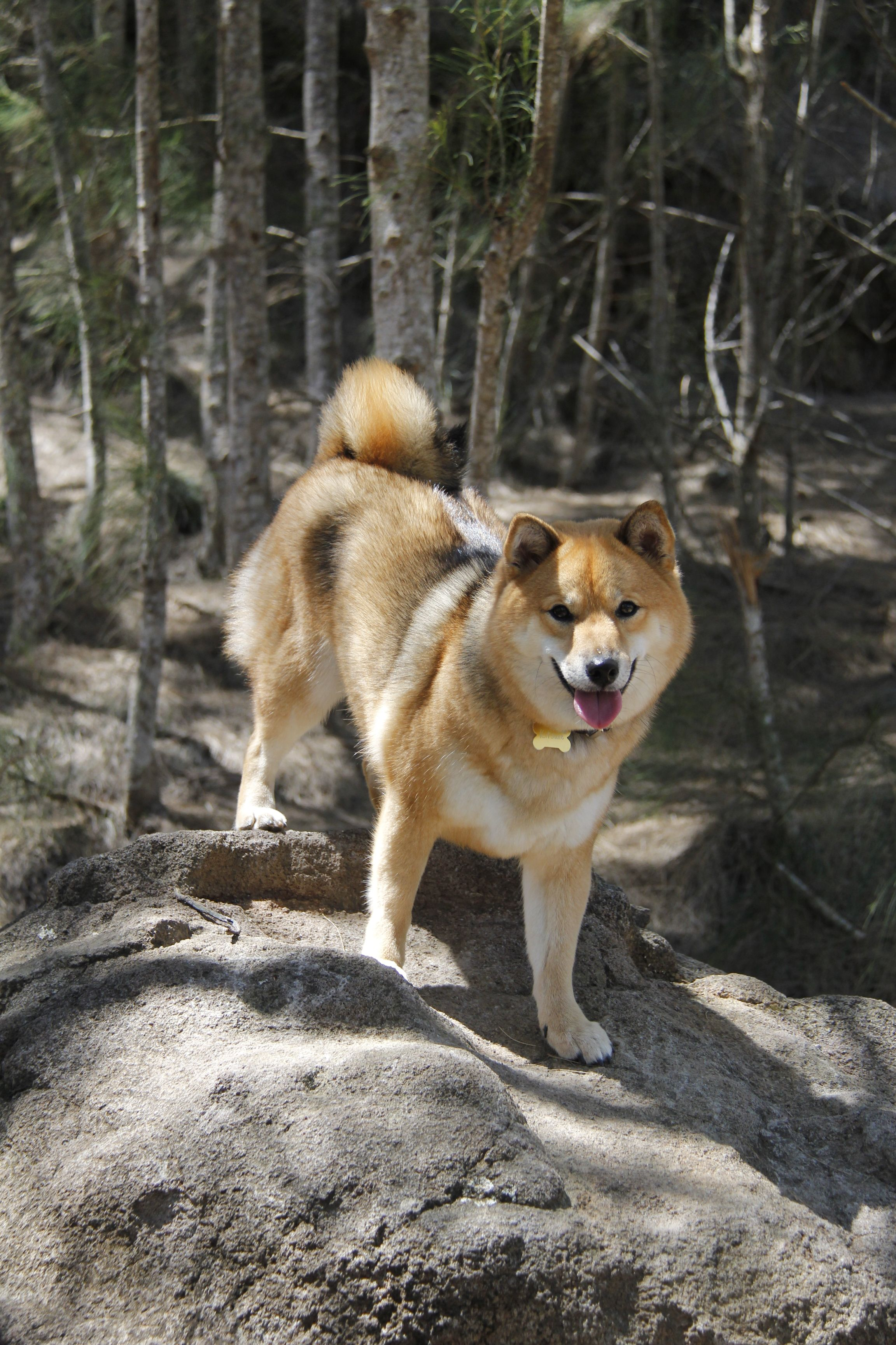 Shiba Inu Going Rock Climbing This Doge Is All About Nature
