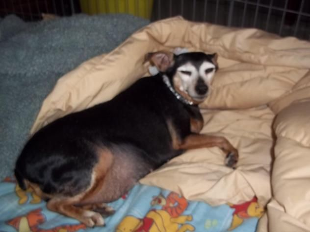 Adopt Millie A Sweet Senior On Petfinder Senior Dog Chihuahua