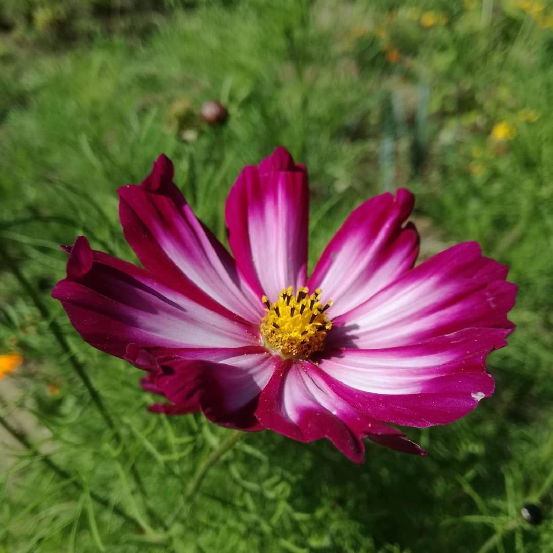 Cosmea Kosmeen Schmuckkorbchen Blume Blumen Flower Flowers Flor Flores Fleur Sonne Sun Sol Sonnenschein Sunshine Natur Nature Naturaleza Plants