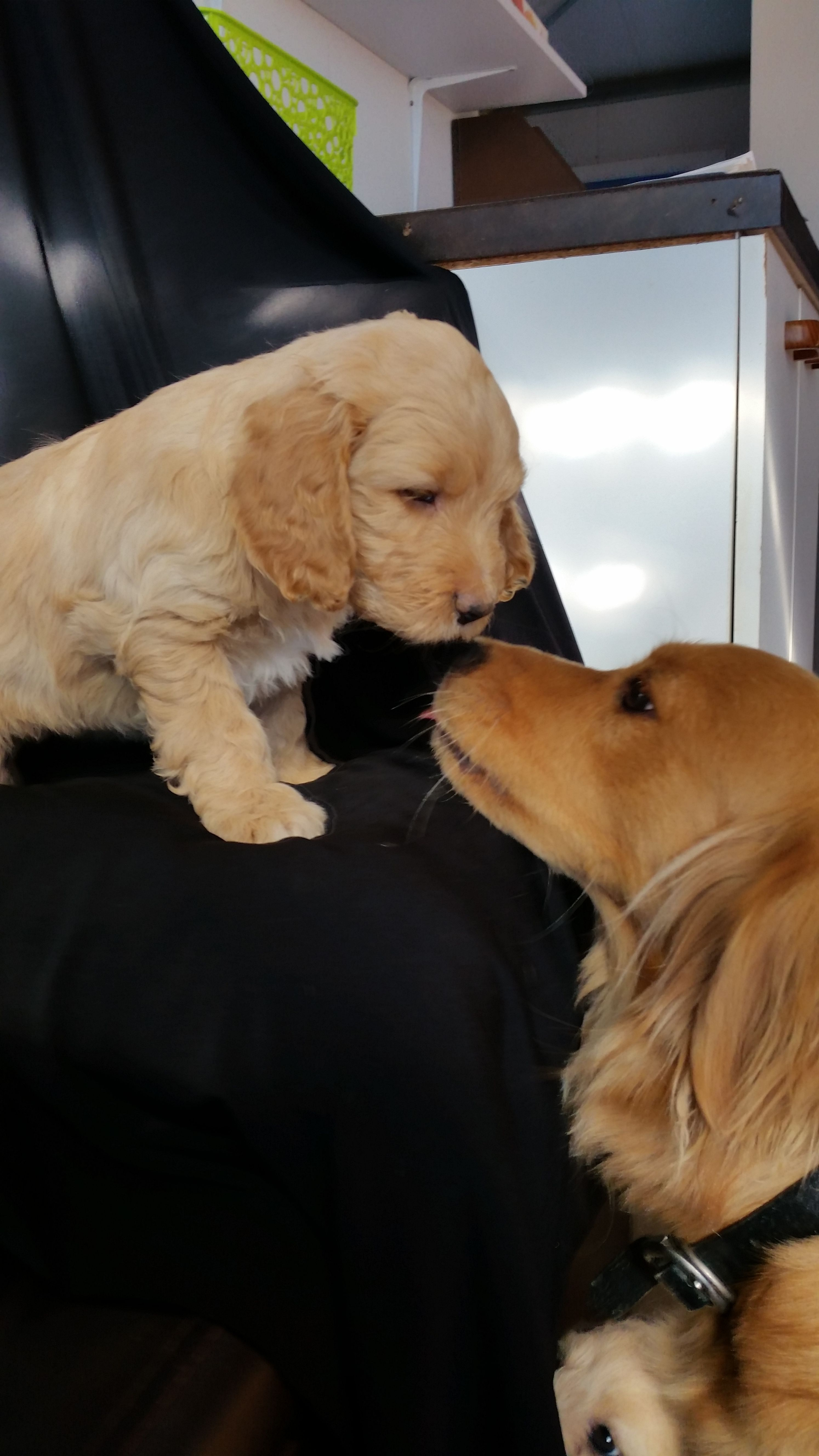 Goldie And Frankie Golden Retriever Dogs Retriever