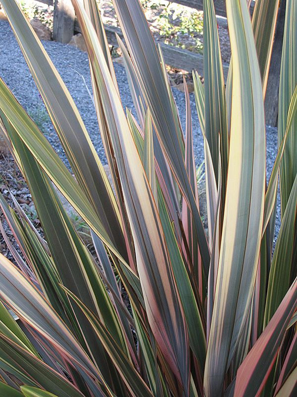 Rainbow Sunrise New Zealand Flax Phormium Tenax Rainbow Sunrise At Plant World New Zealand Flax Plants Ornamental Grasses