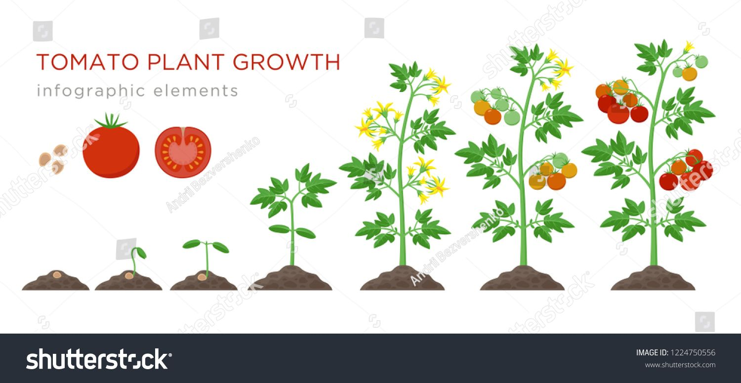 Tomato Plant Growth Stages Infographic Elements In Flat