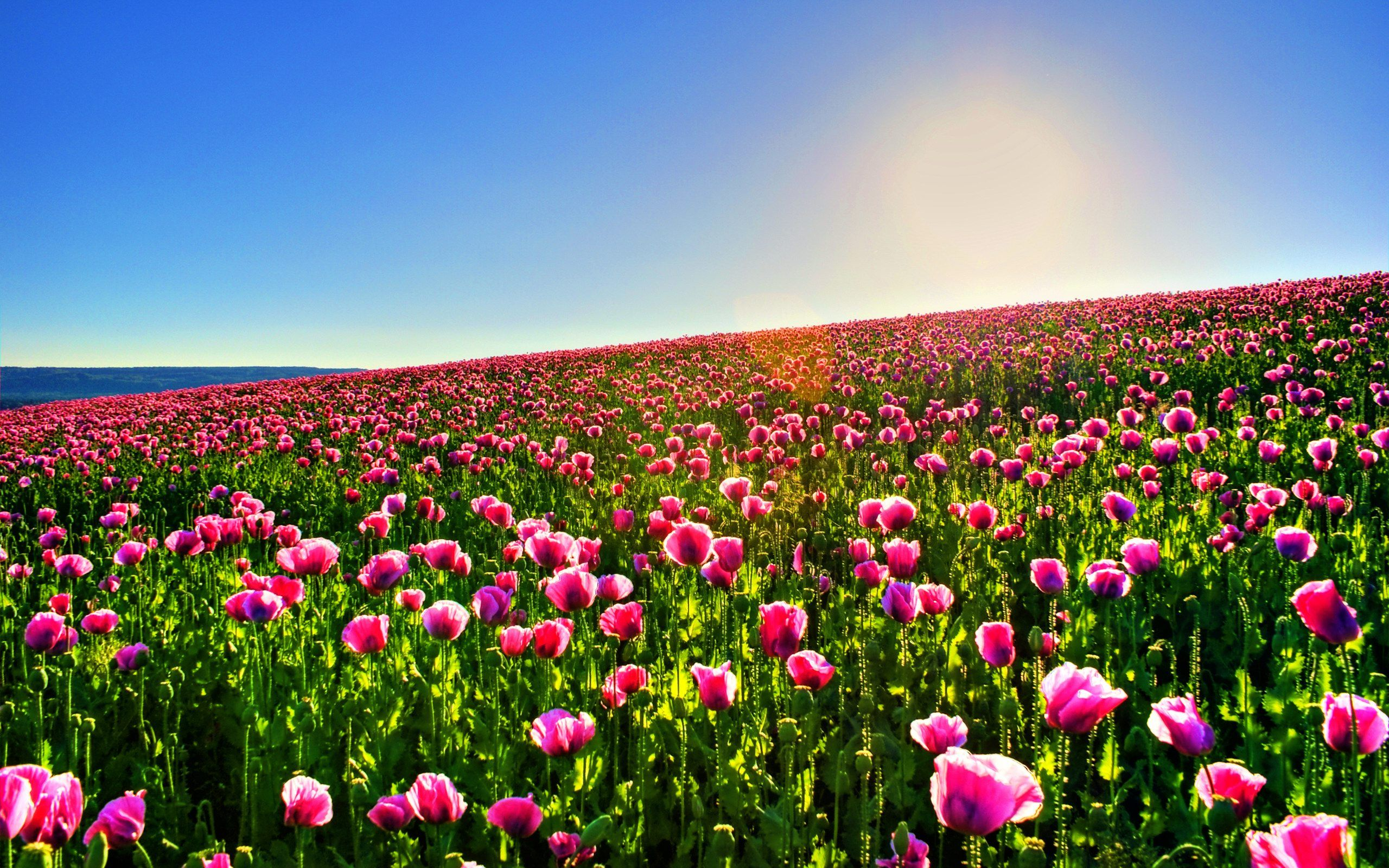 Pink Flower Field Hd Wallpapers Wallpapers