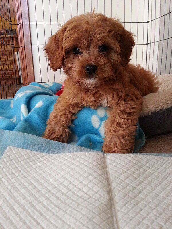 Cavoodle Cute Puppies Puppies Cavapoo Puppies