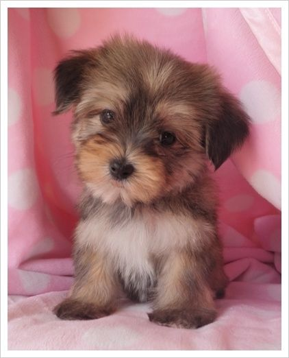 Don T Wake Me Up Morkie Puppies Cute Baby Animals Teacup Puppies