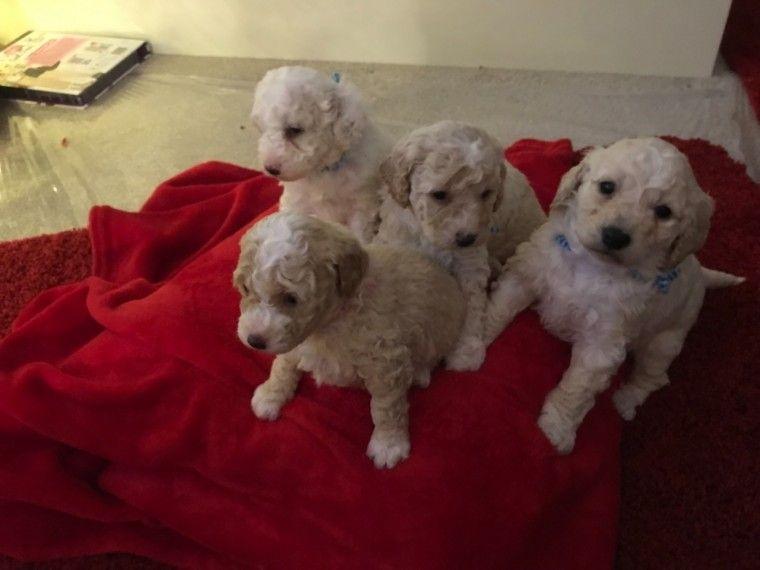 1 Beautiful Cockapoo Puppie Cockapoo Puppies Cockapoo Puppies