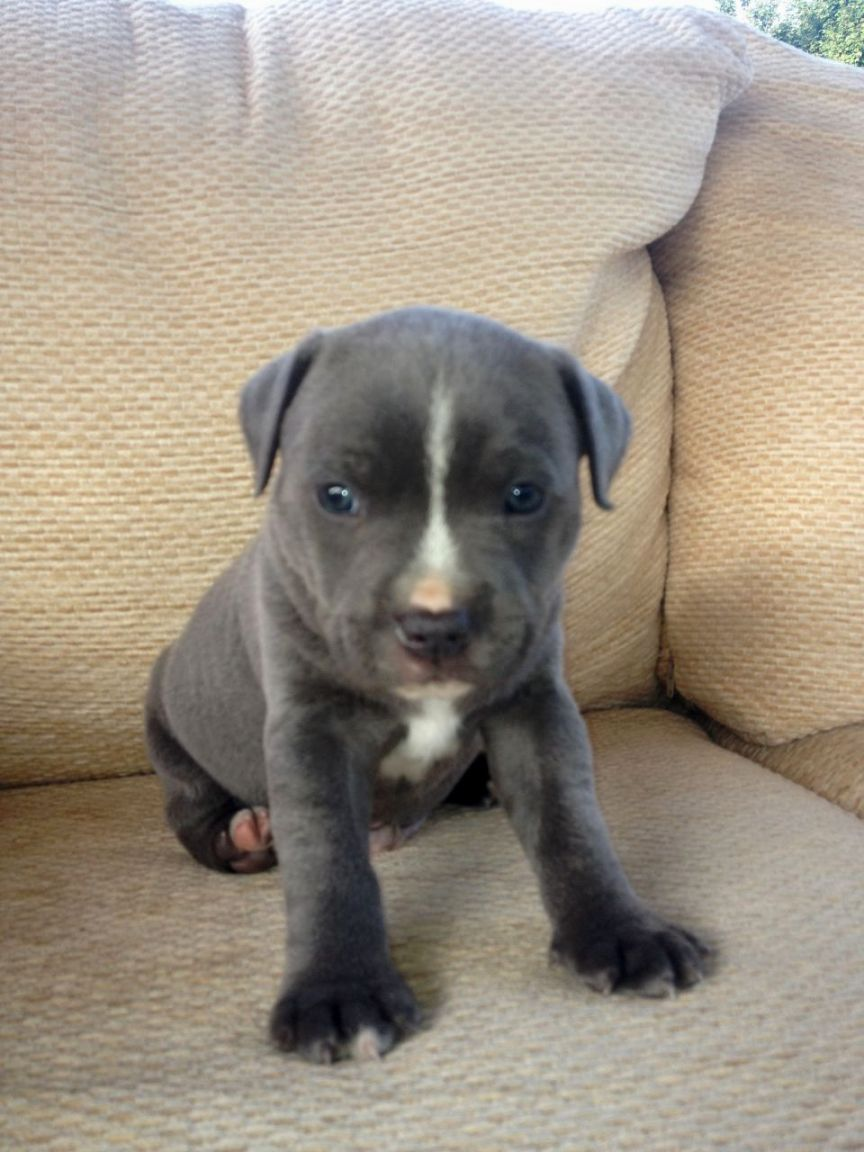Blue American Staffordshire Terrier Puppies With Images Bull