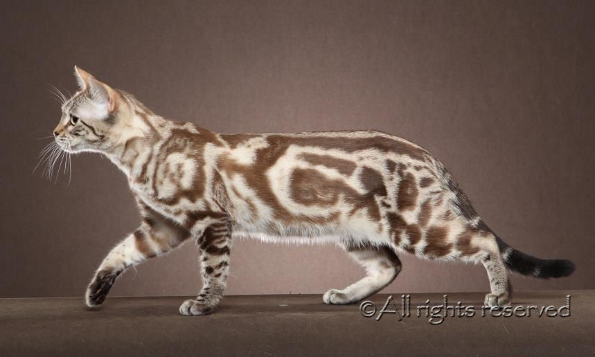 Seal Mink Marble Bengal What Our Calypso Will Look Like As She