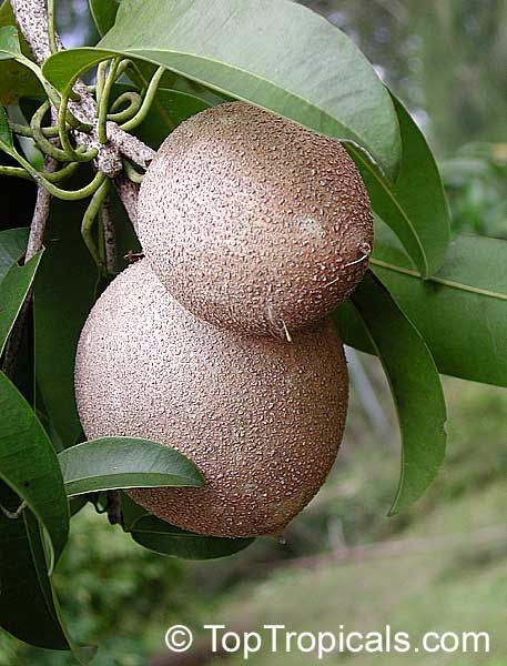 Exotic Fruits Of The World Toptropicals Rare Plants For Home And Garden