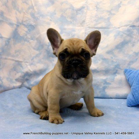 Male French Bulldog Puppy French Bulldog French Bulldog