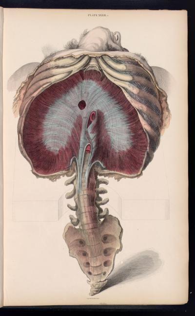 Diafragma | Research comic | Pinterest | Anatomía, Anatomía humana y ...