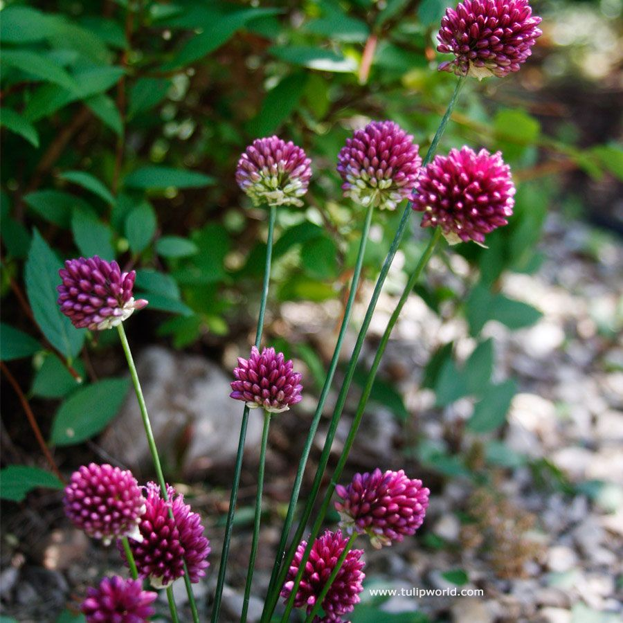 Also Called Drumsticks As This Is What The Shape Of The Flowers Of These Ornamental Onions Look Like Both Purple Red Flower Bulb Flowers Planting Bulbs Plants