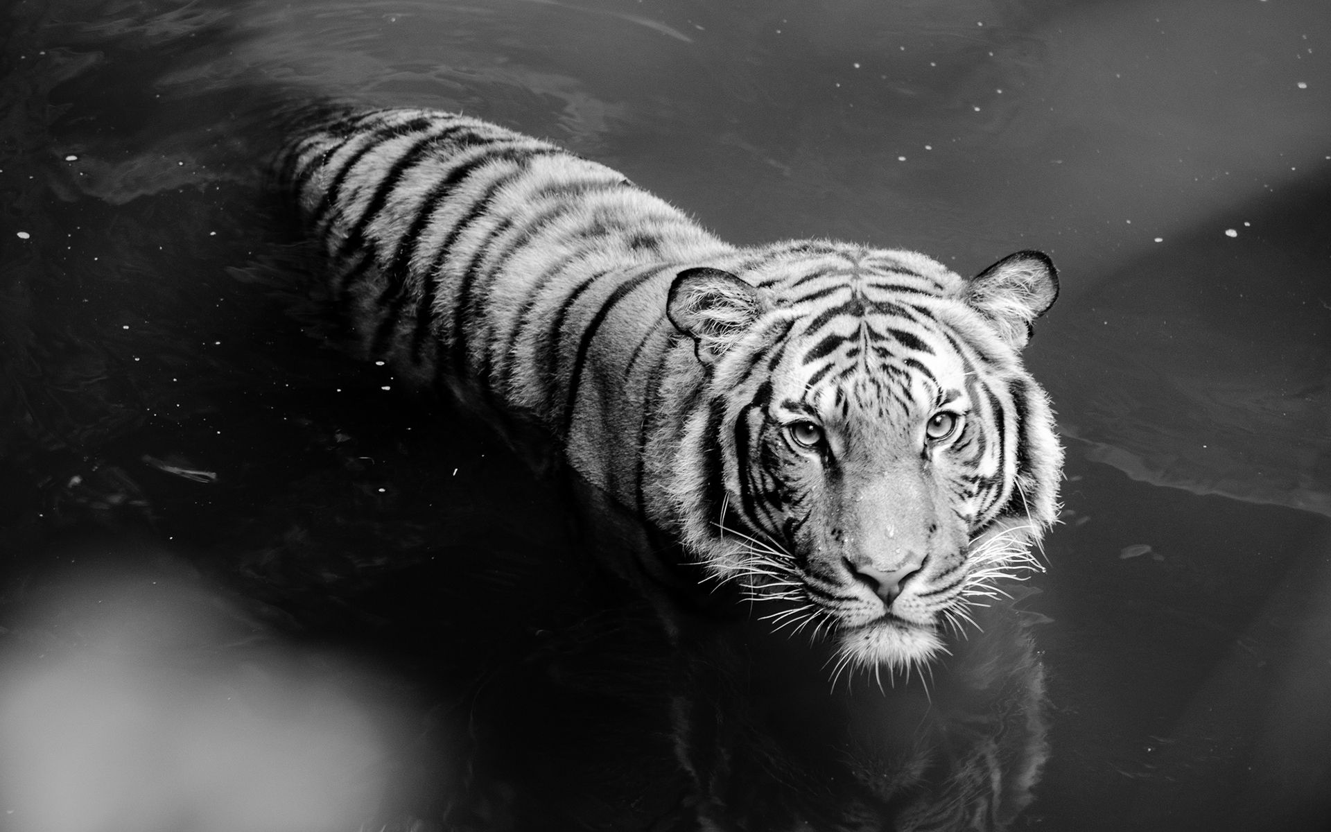 White Tiger In Water Tiger Wallpaper White Tiger Pet Tiger