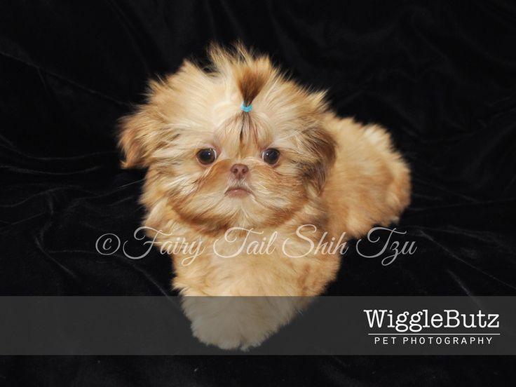 Cabf96609927533b26700c8f8aefea8d Jpg 736 552 Shih Tzu Shih Tzu Puppy Cute Dogs