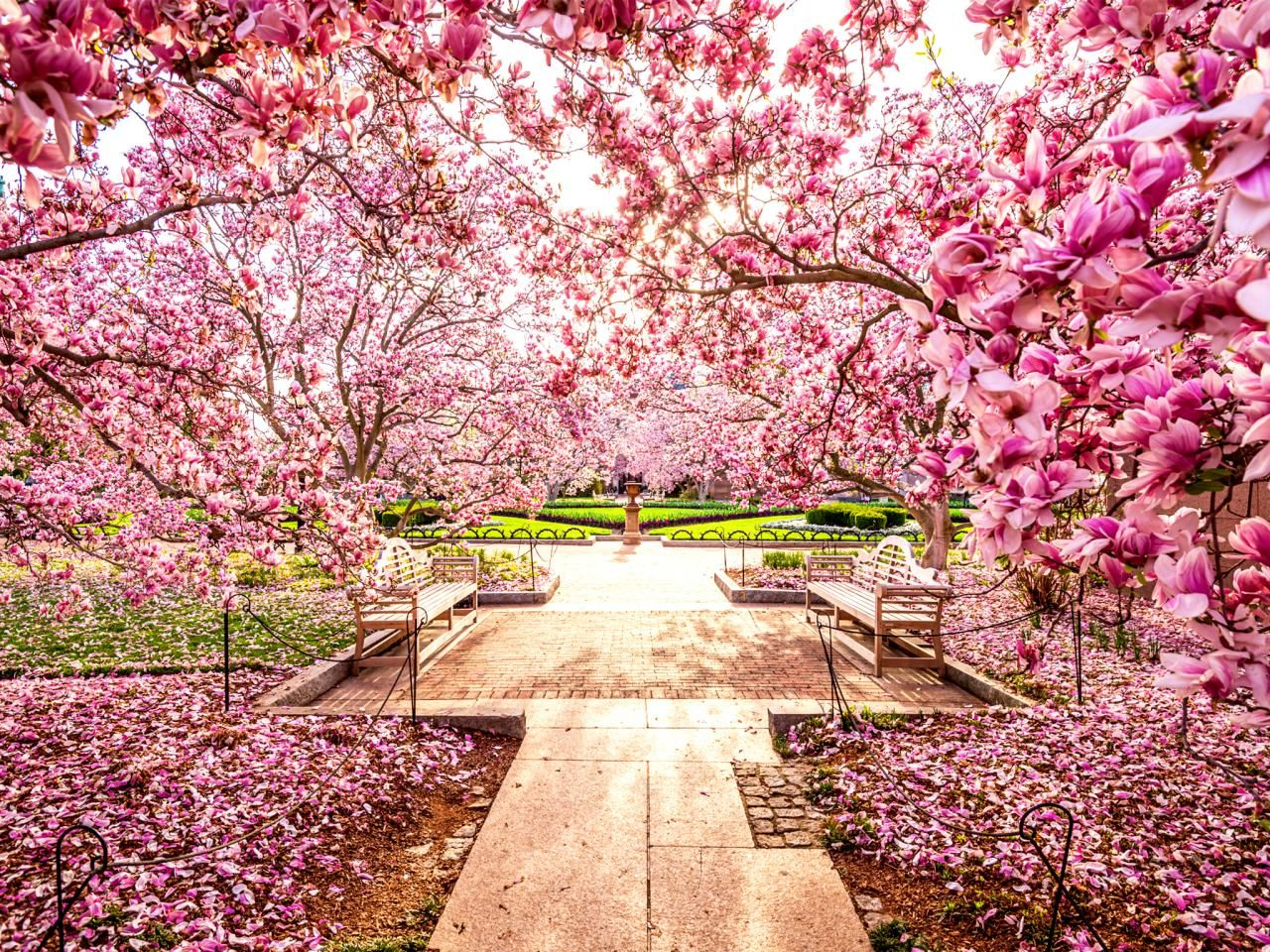 You Can See Them Everywhere National Cherry Blossom Festival Travelchannel Com Cherry Blossom Festival Cherry Blossom Japan Cherry Blossom