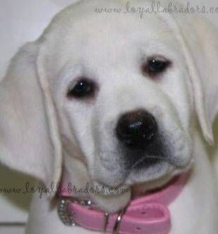 White Lab Puppies For Sale From Health Tested Parents Labrador Retriever Puppies Labrador Puppies For Sale Lab Puppies